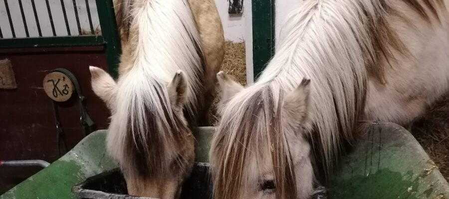 Pferde am Trog
