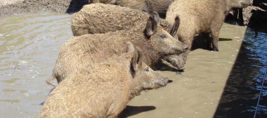 Schweine beim sulen